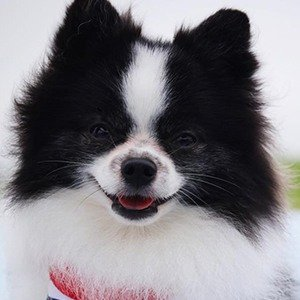 Huxley the Panda Puppy Age, Birthday, Birthplace, Bio, Zodiac &  Family