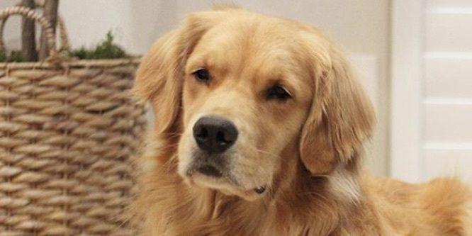 Louie The Golden Retriever Age, Birthday, Birthplace, Bio, Zodiac &  Family