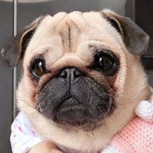 Loulou the Pug Age, Birthday, Birthplace, Bio, Zodiac &  Family